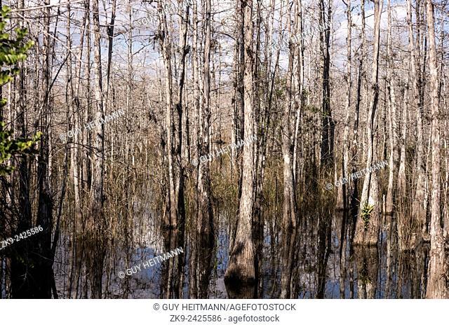 Cypres trees, Everglades NP, Florida, USA