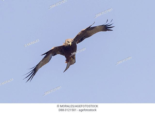 Africa, Ethiopia, Rift Valley, Debre Libanos, Yellow-billed kite (Milvus aegyptius), in flight