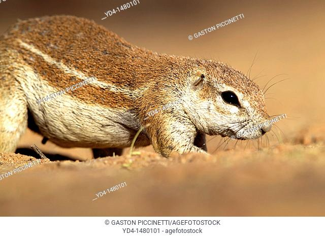 Ground Squirrel Xerus inauris, Kgalagadi Transfrontier Park, Kalahari desert, South Africa