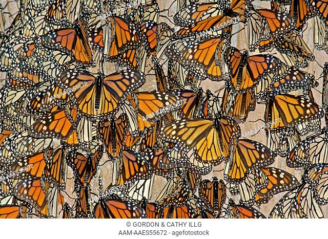 Monarch Butterflies (Danaus plexippus) gathering at a winter roost. Pismo Beach, CA