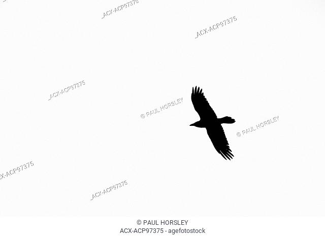 silhouette of a flying Raven, corvus corax, Jasper National Park, Canada