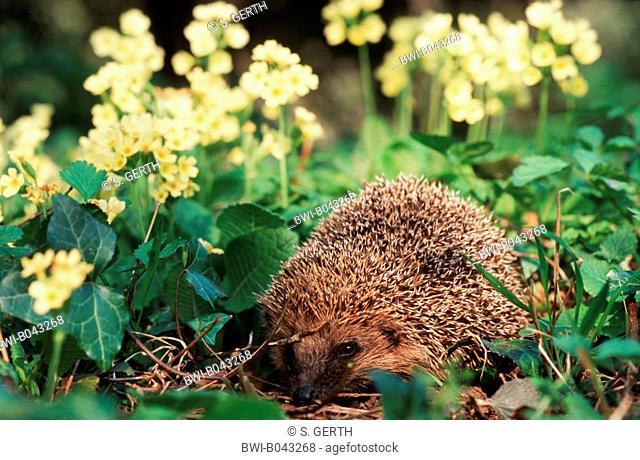 Western hedgehog, European hedgehog (Erinaceus europaeus), among flowering primroses, Switzerland, Lake Constance, Thalang