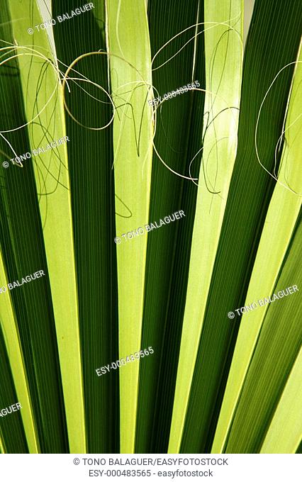 Palm leaf detail with curling fiber, texture background