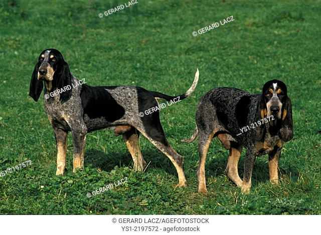 Little Blue Gascony Hound, Dog standing on Grass
