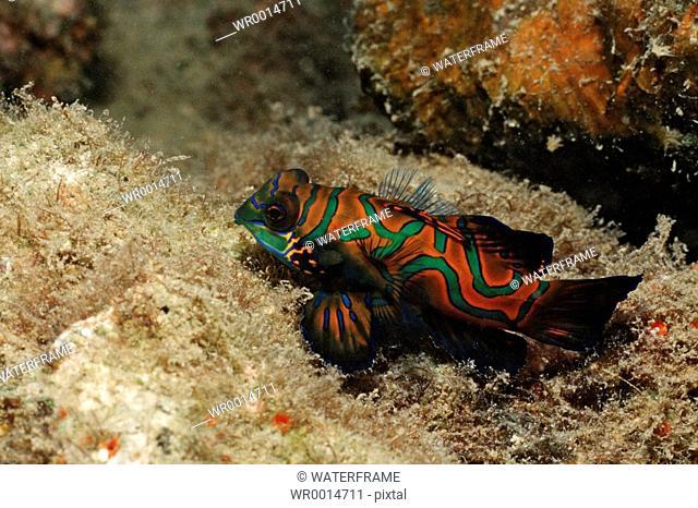 Mandarinfish, Synchiropus splendidus, Pacific, Micronesia, Palau
