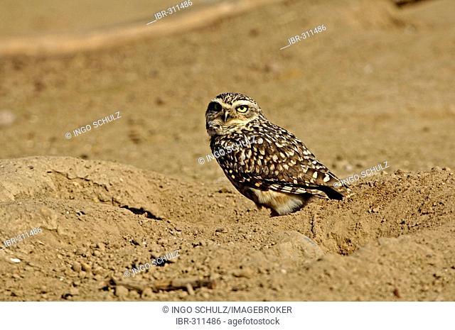 Rabbit owl, Speyotyto cunicularia