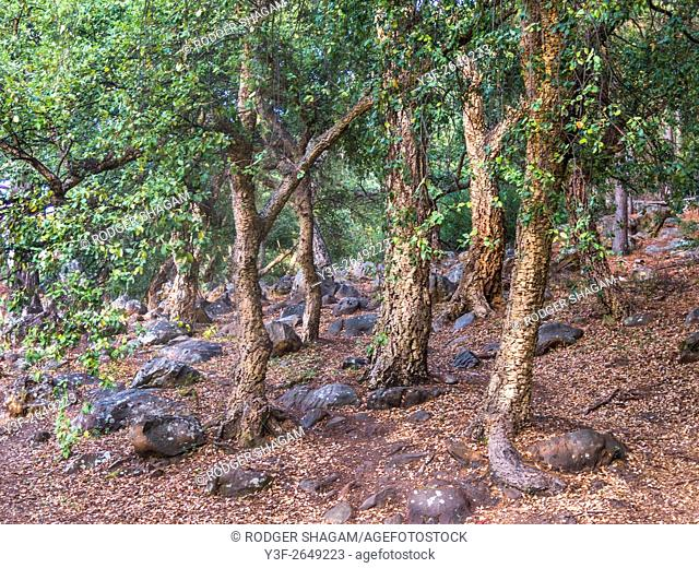 Grove of old cork trees. On the southern slopes of Table Mountain, South Africa. The cork is too porous and therefore not useable