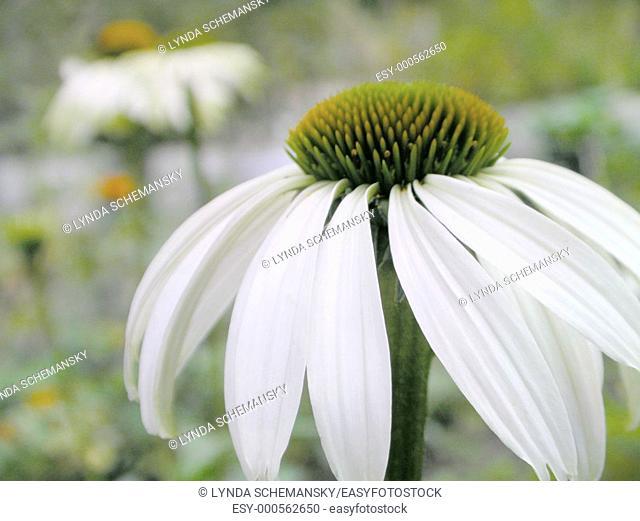 Echinacea purpurea 'White Swan'