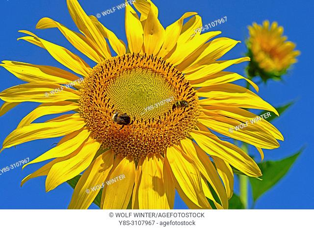 Sunflower Blossom (s) in a Garden, Germany