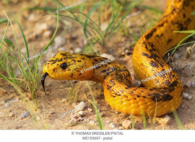 Cape Cobra (Naja nivea). During the rainy season with green grass. Kalahari Desert, Kgalagadi Transfrontier Park, South Africa