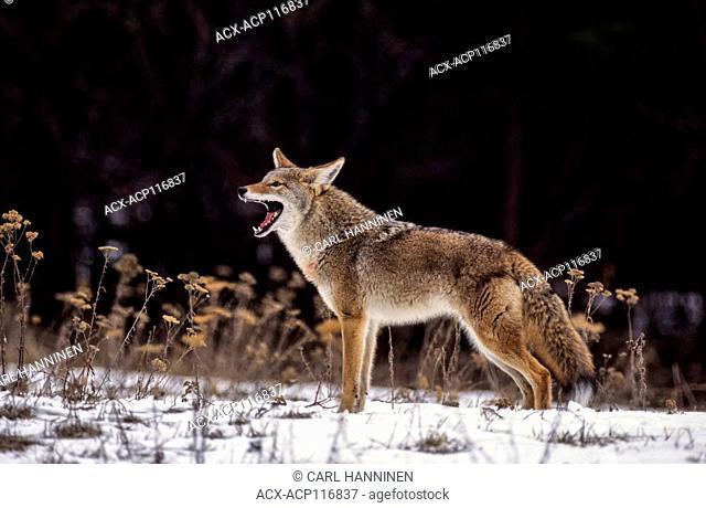 Coyote (Canis latrans) - captive species - Montana