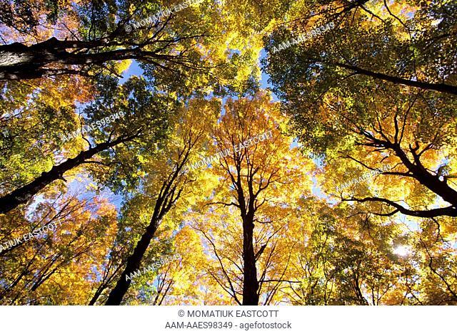 Sugar Maple Grove in Autumn (Acer sacharum) Canopy, near Barnard, Vermont