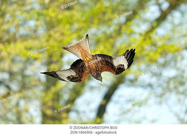 Rotmilan Milvus milvus - red kite