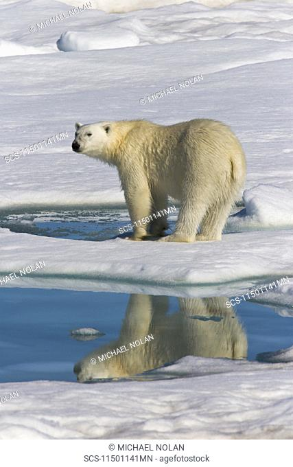 Adult polar bear Ursus maritimus reflected in melt water pool on multi-year ice floes in the Barents Sea off the eastern coast of Edgeÿya Edge Island in the...