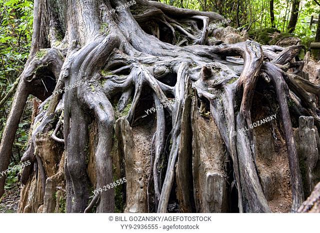 Tree Roots on Nurse Log - Goldstream Provinicial Park - Victoria, Vancouver Island, British Columbia, Canada