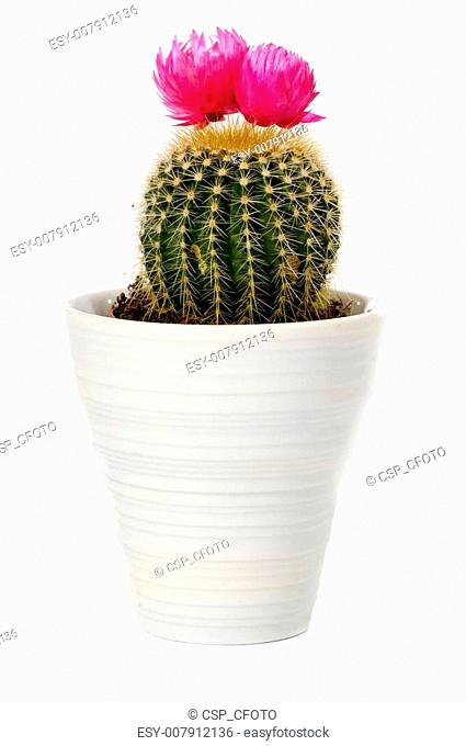 cactus in a pot on white background