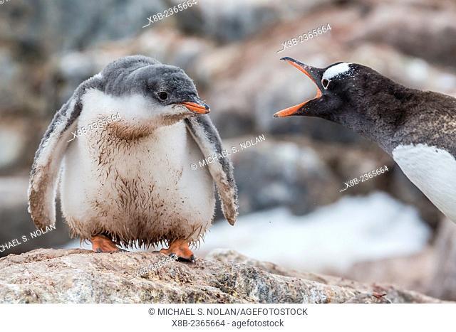 Gentoo penguin chick with adult, Pygoscelis papua, Mikkelsen Harbor, Trinity Island, Antarctica
