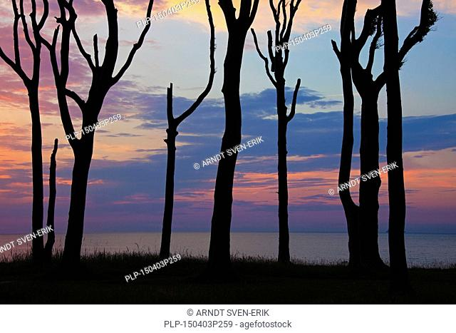 Sunset over the Baltic Sea seen through silhouetted beech trees at Ghost Wood / Gespensterwald at Nienhagen, Mecklenburg-Vorpommern, Germany