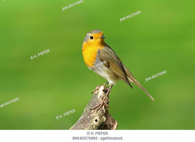 European robin (Erithacus rubecula), sitting on a post and looking back, Germany, North Rhine-Westphalia