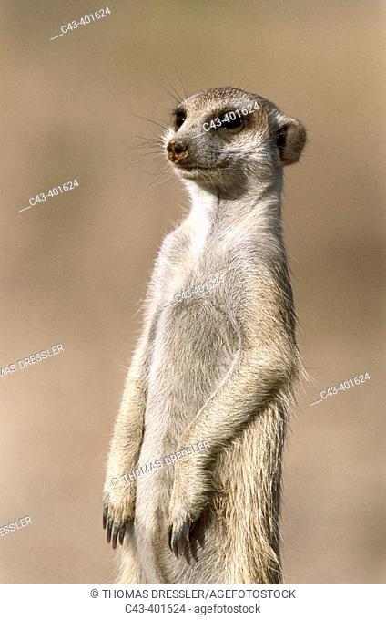 Meerkat or suricate (Suricata suricatta) guard on the lookout at the edge of their burrow. Kgalagadi Desert. Southeast Namibia