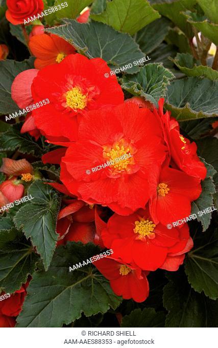 Go-Go Scarlet Tuberous Begonia (Begonia Tuberhybrida)
