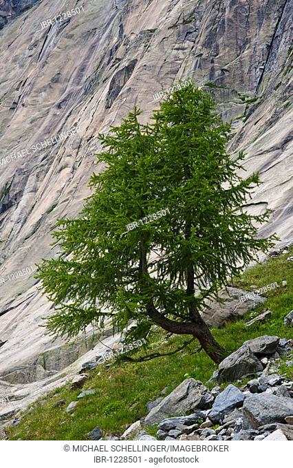 Swiss Pine or Arolla Pine on a trail to the Lauteraar Glacier, Grimsel Reservoir, Grimsel Pass, Canton of Uri, Switzerland, Europe