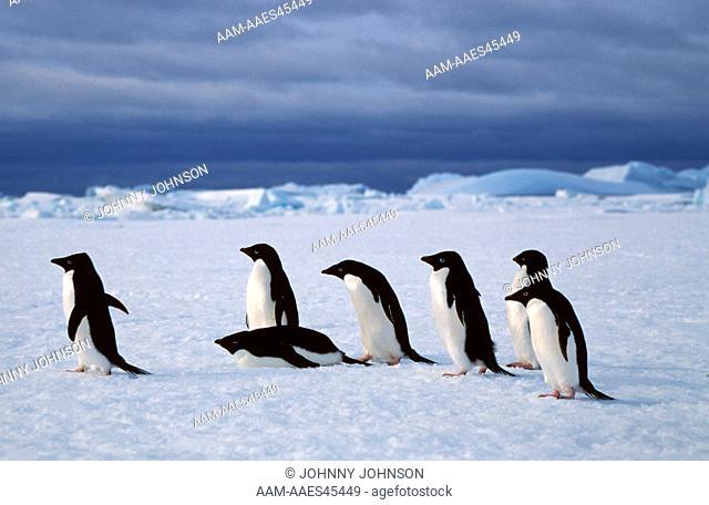 Adelie Penguins Travel over fast ice (Pygoscelis adeliae) Antarctica, Gardner Island