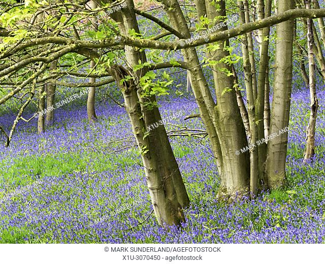 Bluebells in Barsneb Wood near Ripley North Yorkshire England