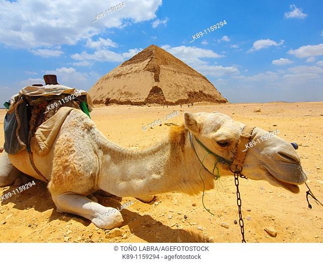 Camello , Pirámide blanca , Dashur, El Cairo, Egipto