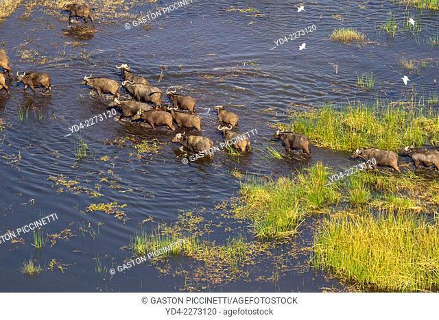 Aerial view of African buffalos or Cape buffalos group (Syncerus caffer), crossing the floodplain. Okawango Delta, Botswana