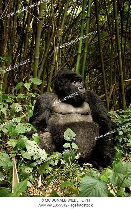 Mountain Gorilla (Gorilla gorilla beringei) Agashya Group, Volcanoes National Park, Rwanda