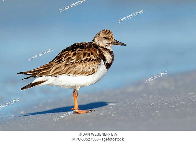 Ruddy Turnstone (Arenaria interpres), Florida