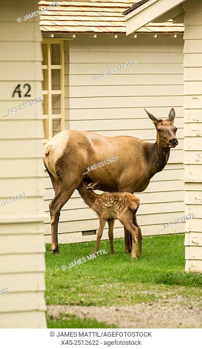 A young elk calf suckles in a hidden space between cabins at Mammoth Hot Springs in Yellowstone Park/