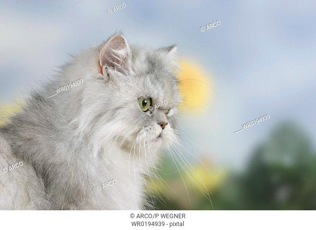 Persian, Cat, silver-shaded-tortie