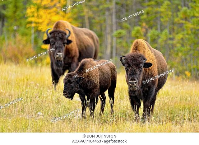 Wood Buffalo/Bison (Bison bison athabascae) Mother with first-year calf and bull, Mackenzie Management Area, Northwest Territories, Canada