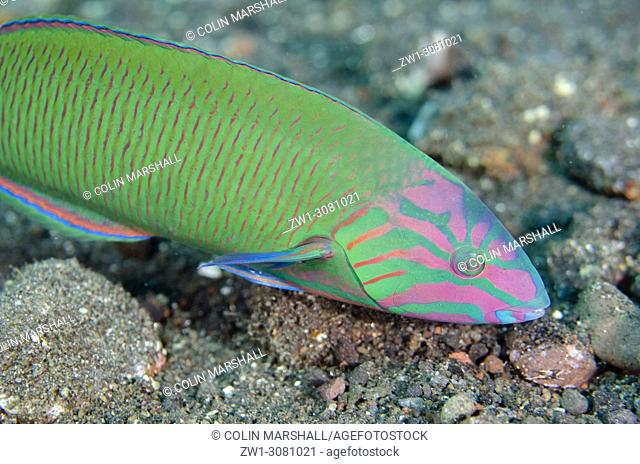 Moon Wrasse (Thalassoma lunare, Labridae family), USAT (US Army Transport) Liberty Wreck dive site, Tulamben, east Bali, Indonesia