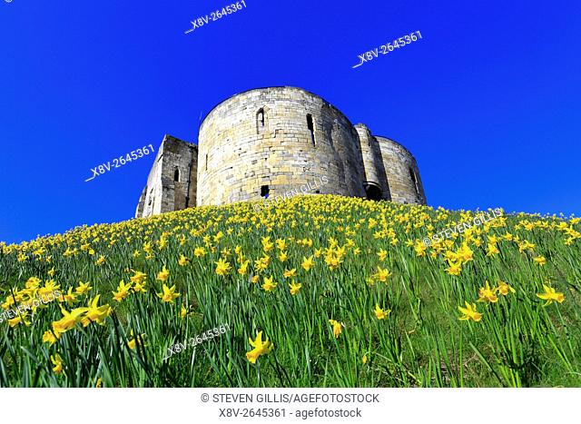 Clifford's Tower surrounded by daffodils in spring, York, North Yorkshire, England, UK