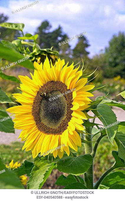A single sun flower in a field of sunflowers