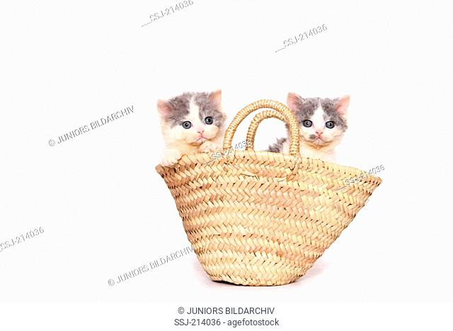 Selkirk Rex. Two kittens (7 weeks old) in a shopping bag. Studio picture against a white background. Germany