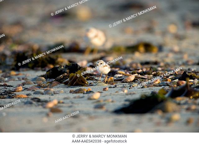 Piping Plover on the beach in Old Lyme, Connecticut, USA