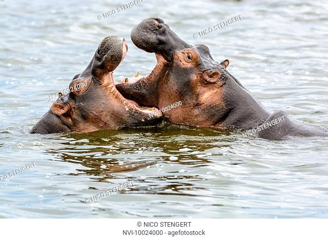 Playing Hippopotamus (Hippopotamus amphibius), Queen Elizabeth National Park, Uganda, Africa