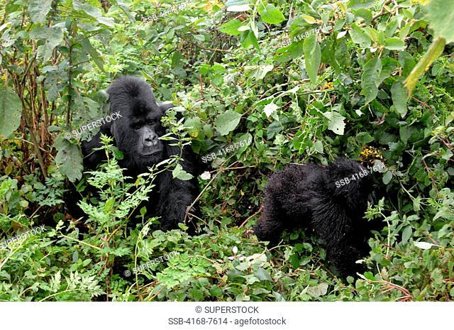 Rwanda, Volcano National Park, Mountain Gorilla Gorilla Gorilla Beringei, Silverback