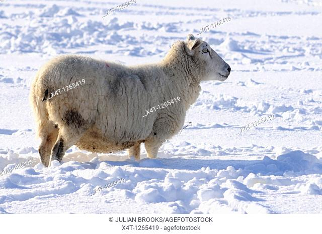 a single ewe looking for food in deep snow