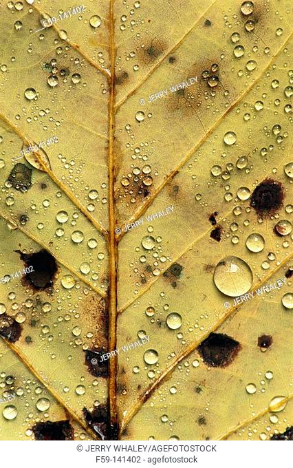 Leaf with Spots & Water Droplets