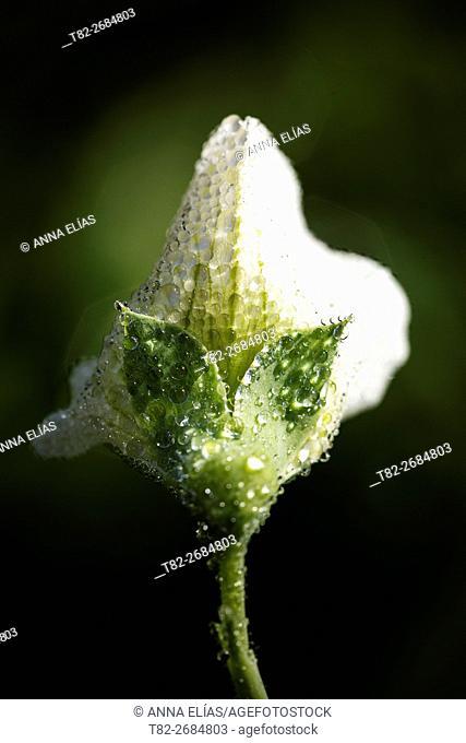 Fabaceae Lathyrus fodder leguminous climbing plant, Alentejo, Portugal, Europe