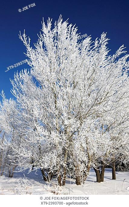 thick hoar frost on bare tree branches against deep blue sky during winter Forget Saskatchewan Canada