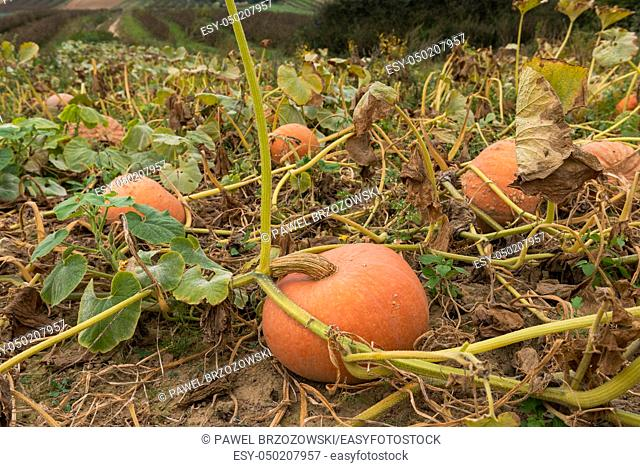 Pumpkin plant. Ripe pumpkins near harvest time growing on the pumpkin plant