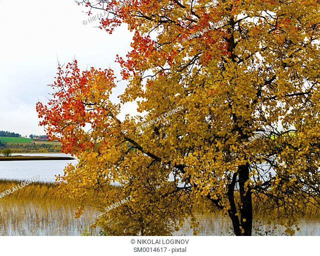 Horizontal vivid yellow red autumn Norway tree landscape painting background backdrop