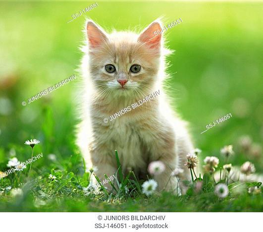 Maine Coon kitten - sitting on meadow restrictions: Tierratgeber-Bücher / animal guidebooks