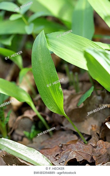 ramsons, buckrams, wild garlic, broad-leaved garlic, wood garlic, bear leek, bear's garlic (Allium ursinum), in foliage, Germany